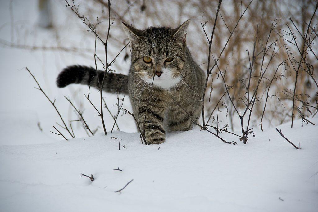 hunting cat