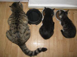 fromm cat food